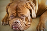 Dogue-de-Bordeaux-cute1