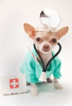 dog doctor at vet chihuahua
